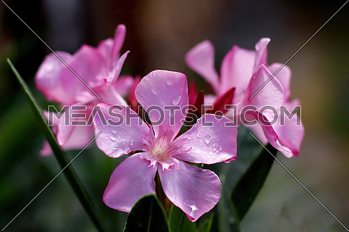 Blooming Pink Oleander flowers (Oleander Nerium)  close up. Selective focus.