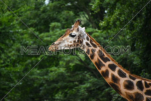 Close up side profile portrait of one giraffe over green trees background, low angle view