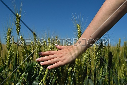 Hand in wheat field. Harvest and gold food concept