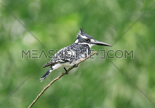 Pied Kingfisher on Branch with isolated back ground