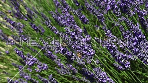 Close up honeybee pollen on purple lavender flowers in field, low angle view