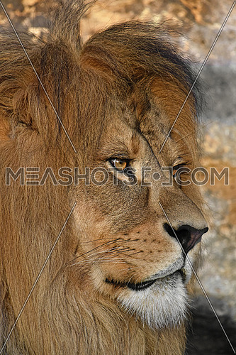 Close up side profile portrait of cute mature male African lion with beautiful mane, looking away
