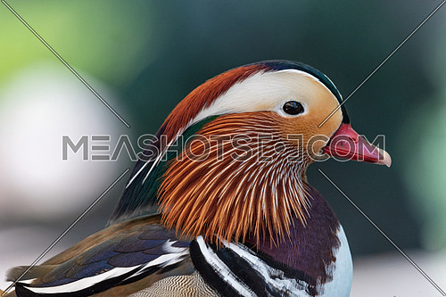 Mandarin duck, belongs to the numerous Anatid family and is one of the most famous ducks in existence.
