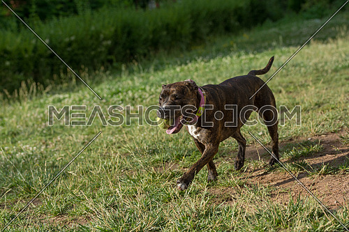 Pitbull  running with a ball. Selective focus on the dog