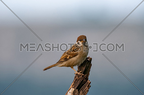 Eurasian tree sparrow (Passer montanus) is a passerine bird in the sparrow family with a rich chestnut crown and nape and black patch on each pure white cheek perched on a tree in a nature wild
