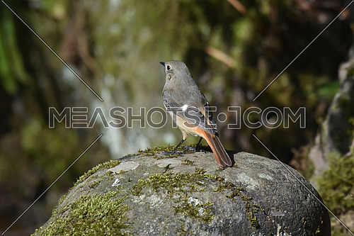 Close-up of Black redstart  (phoenicurus ochruros)