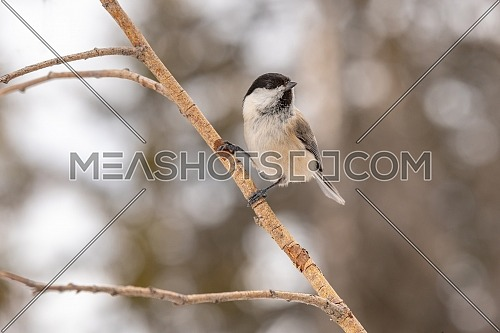 Willow tit (Poecile montanus) sitting on a branch in the wild