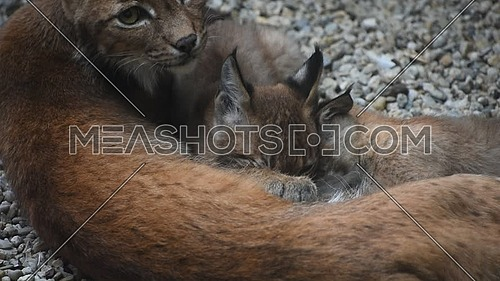 Mother Eurasian lynx nursing feeding two young baby kittens, looking at camera alerted, close up, high angle view