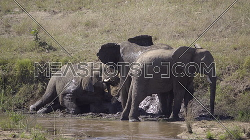View of three elephants taking a mud bath