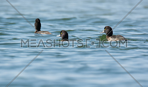 three Tufted Duck swimming
