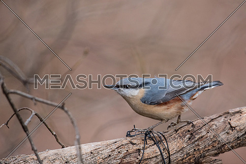 Eurasian Nuthatch Sitta europaea in the autumn, sitting on a tree trunk.