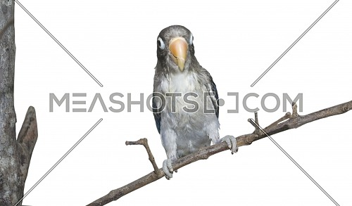 The black-cheeked lovebird (Agapornis nigrigenis) sitting on a branch with isolated background. Rarity small parrot from Africa