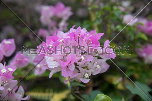 Pink bougainvillea on nature background in pastel style