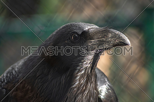 Close-up of a beautiful black Common Raven (Corvus corax). Wild animals in natural habitat