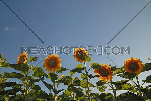 sunflowers field   (NIKON D80; 6.7.2007; 1/200 at f/4; ISO 100; white balance: Auto; focal length: 18 mm)