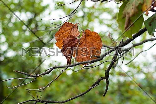 Beautiful brown color leaves at autumn fall season