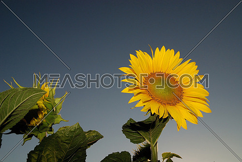 sunflower at sunny day   (NIKON D80; 6.7.2007; 1/200 at f/11; ISO 400; white balance: Auto; focal length: 29 mm)