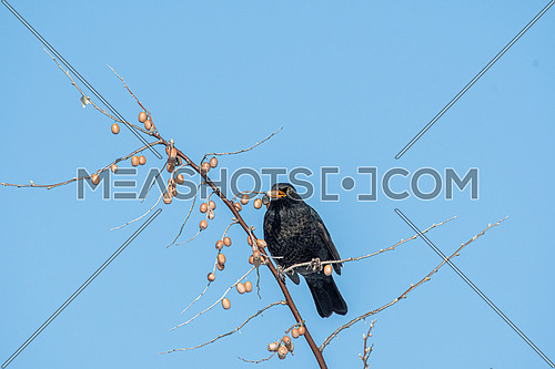 Male Blackbird Turdus merula sitting on the Eleagnus angustifolia tree