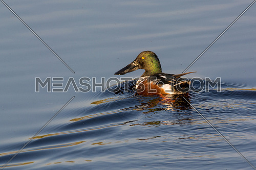 Northern shoveler (Anas clypeata) or shoveller can be recognised on its spatulate bill. It is a common and widespread duck. It breeds in northern areas of Europe and Asia and across most of North America