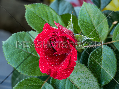 Red rose with water drops on  blurred background. Macro shot