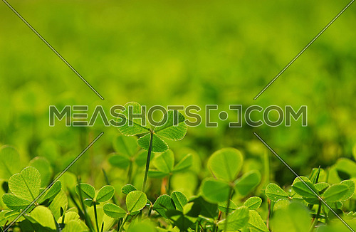 New young clover leaves in fresh green spring grass with sunshine back light, selective focus