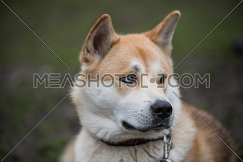 Akita Inu portraitClose-up dog portrait