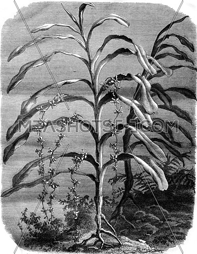 Orchid, Renanthera Lowii, vintage engraved illustration. Magasin Pittoresque 1876.