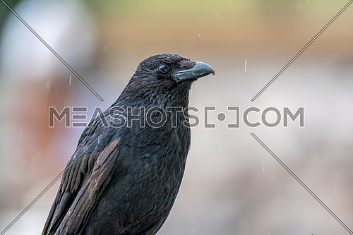 Carrion Crow (Corvus corone).Bird in the crow family