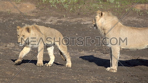 View of lion cub walking by its mother