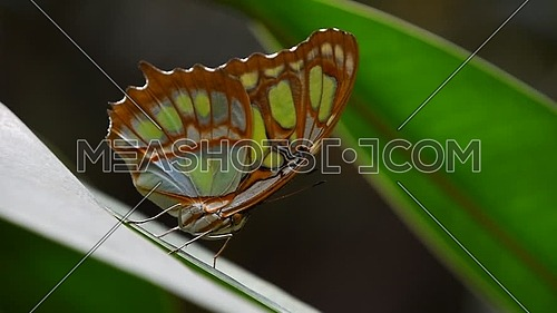 Close up side profile portrait of one, beautiful big vivid green and brown tropical rainforest butterfly with folded wings sitting on leaf