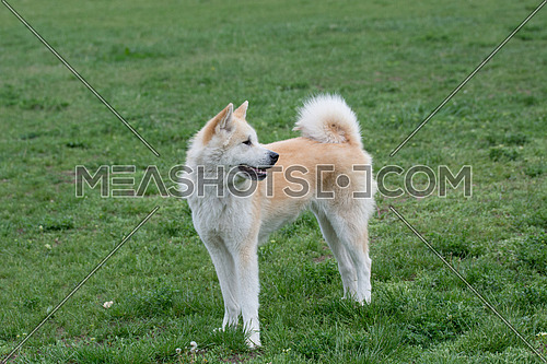 Close up portrait of young akita inu dog.Selective focus