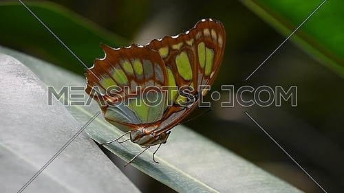 Close up side profile portrait of one, beautiful big vivid green and brown tropical rainforest butterfly with folded wings sitting on leaf, low angle