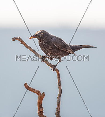 Close-up of a blackbird (Turdus merula) , Nature and wild bird image