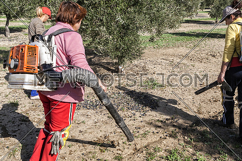Jaen, Spain - yanuary 2008, 23: Women farmers during the campaign of harvesting of olives, take in Jaen, Spain