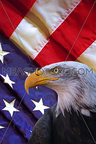 Portrait of bald eagle in front of a folded american flag