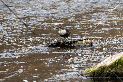 White-throated dipper (Cinclus cinclus) sitting on a stone. Diving bird hunting in the water. spring moment from the mountain river