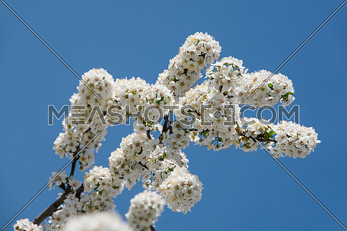 Close up white cherry tree blossom over clear blue sky, low angle view