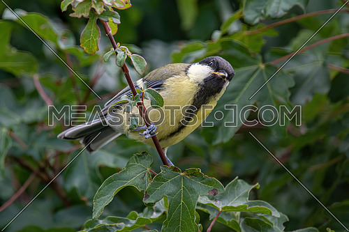Cute  Great tit (Parus major) bird in yellow black color sitting on tree branch