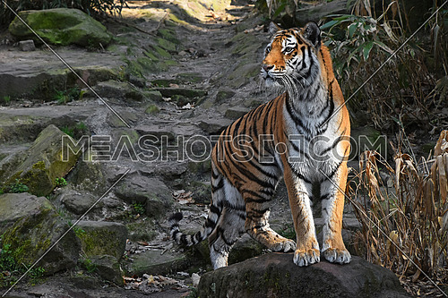 One Siberian tiger (Amur tiger, Panthera tigris altaica) stands alerted on the stone rock and looks aside from camera, low angle view