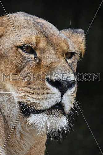 Face to face, close up portrait of beautiful mature female African lioness looking aside of camera over dark background, low angle view