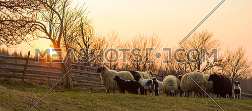 sheeps farm animal group flock in grass field on spring sunset are prepare for Islamic sacrifice festival eid al adha