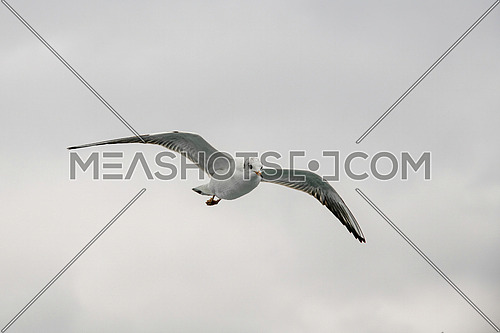 Detailed portrait of natural flying black-headed gull ( Larus ridibundus)
