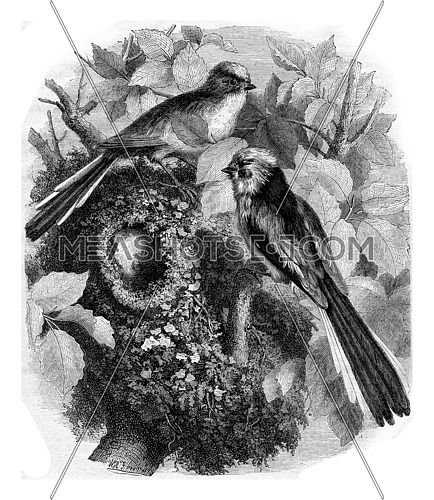 The chickadee a long tail and its nest, vintage engraved illustration. Magasin Pittoresque 1867.