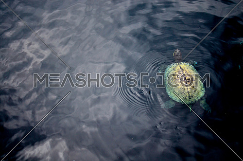 Turtle swimming in a lake