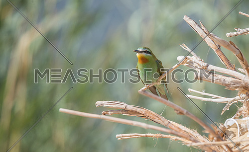 Blue Cheecked Bee Eater Bird