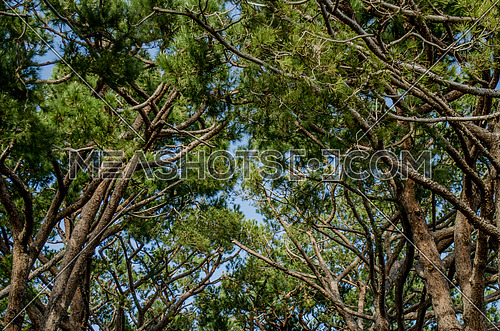a close up photo to the top of trees among each other