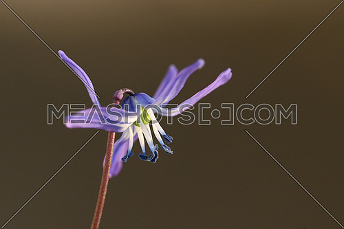 Little blue flower isolated against a dark brown background