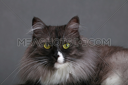 Close up portrait of one cute gray domestic cat with white spots and large whisker looking at camera over gray background, close up, low angle view