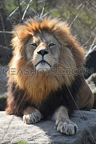Close up portrait of cute male African lion with beautiful mane, laying alerted on the rock and looking at camera, low angle view