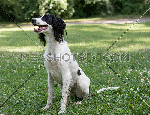 Taigan is a member of the family of Eastern Sighthounds. The Taigan is a very rare dog breed, reported about few hundred  worldwide. Selective focus on the dog